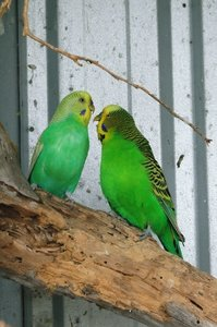 Green Aviary Budgies