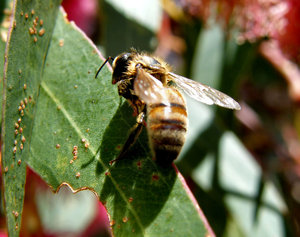resting bee: bee resting on eucalypt leaf