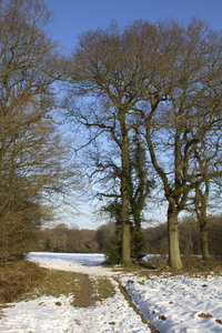 Copse in winter: A copse between fields, and more distant woodland, in West Sussex, England, in winter.