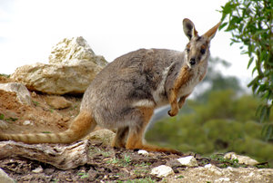 yellow-footed rock wallaby8: one of the Australian gentle colourful rock wallaby species