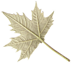the back side of  a maple leaf
