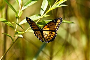 Hovering Monarch