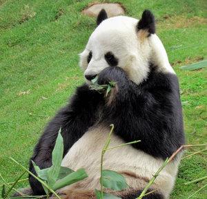 panda snack time10