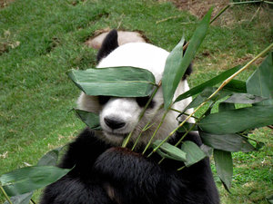panda snack time4: giant panda snacking on bamboo