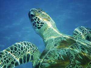 turtle: swiming with turtle in Marsa Alam (Egipt)