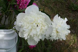 Bucket 'o Peony With Bee