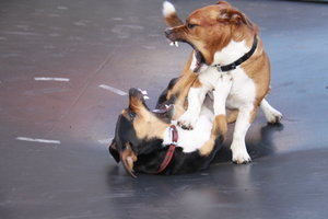 Dogs Play Fighting: Jack Russell dogs play fighting on a trampoline showing their teeth.
