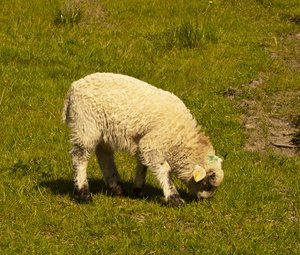 Hungry Lamb: A cute lamb munching grass.