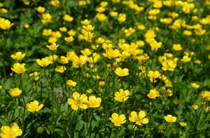 Buttercup: Field of buttercups