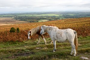 Welsh ponies: Ponies on the Gower, Wales, UK.