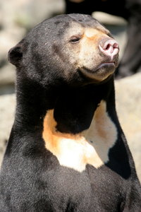 Sun Bear: Sun Bear in Edinburgh Zoo