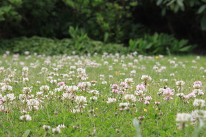 Clover Meadow