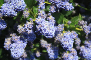 Blue Flowering Bush