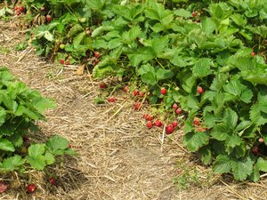 ripe organic strawberries: ripe organic strawberries
