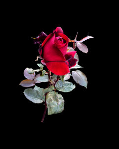Red, Red Rose: Traditional red rose