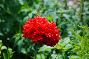 filled poppy