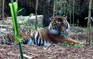 relaxed tiger1: well-kept resting Sumatran tiger