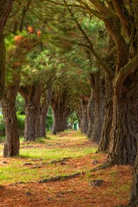 Pine Trail -  HDR: Trail formed by a couple rows of pine trees in Carnac, France. Some motion blur in the top leaves due to wind, scene otherwise captured still on a tripod. HDR composite from multiple exposures.