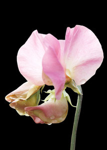 Delicate Pink Sweetpea: Capturing the delicate colours of sweetpeas