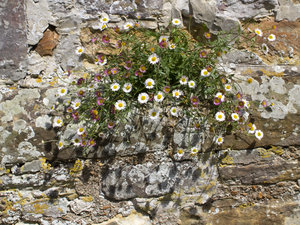 Flowers growing on a wall: Erigeron flowers growing on the stone wall of a mediaeval priory in Sussex, England. Photography on this estate was freely permitted.