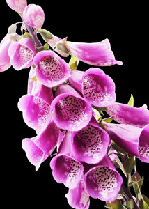 Wild foxglove on black