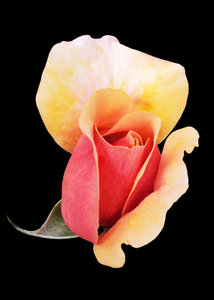 Pink Rosebud on black: Pink Rosebud with golden hues coming into flower