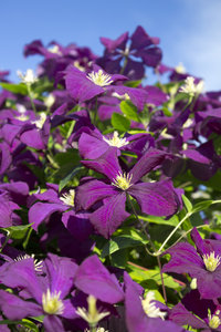 Purple Clematis: A garden cultivar of Clematis in an English garden.