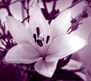 Duotone Lily: A lily in duotones of pink and grape.