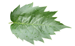 Leaf after the rain: Some raindrops on the leaf.