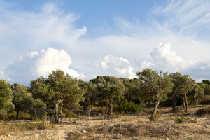 Olive grove in evening light