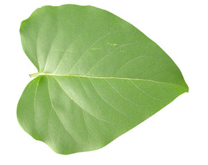 Green leaf: A leaf isolated.