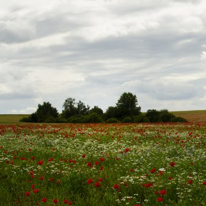 Poppies: Harzgerode