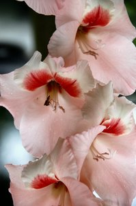 Gladioli: On my allotment today.