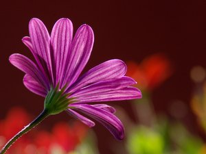 Purple Margerit