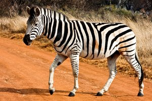 Strutting Zebra Strutting Zebra Walking