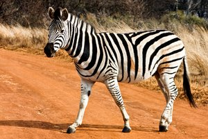 Strutting Zebra: Strutting zebra from Kruger National Park, South Africa.