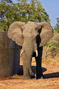 Kruger Park Elephant: Telephoto close-up of an elephant in Kruger National Park, South Africa.