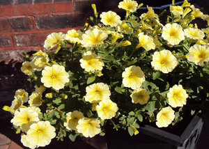 Sun-filled petunias: Lemon coloured petunias catching the sun