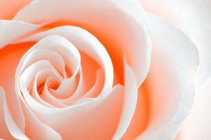 High Key Rose Macro: White rose macro with a high key effect and orange color tinting.
