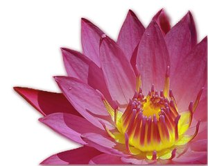lotus flower: no description