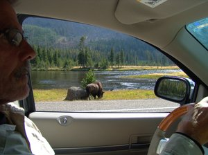 Window with a view: Driving in the Yellowstone National Park will provide wonderful views from your car windows of Bison, the Snake River and the Teton Mountains.
