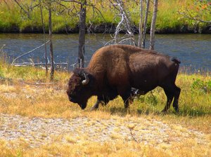 Bison - Yellowstone: Side view of a Bison feeding on wild grasses along the Snake River in Yellowstone National Park.