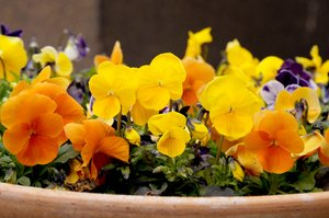 spring flowers: Miniature pansies (Viola tricolor) from my garden