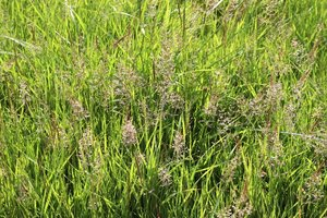 Meadow grasses in flower