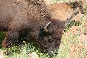 Buffalo: Buffalo in Custer State Park, Custer, SD