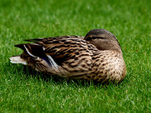 Duck: Just a female duck.