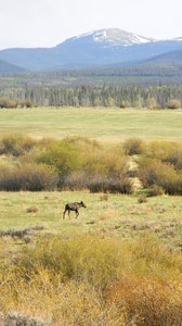 Moose: One of four moose we saw near Walden, CO,