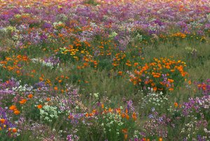 Glory of Spring: Wild flowers in full bloom in an open field near Oak Island, North Carolina.
