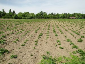 young organic potato field