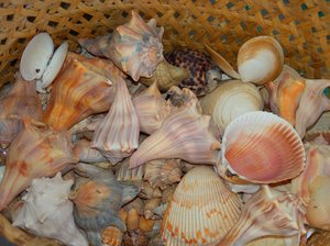 Sea Treasures: Sea shell collecting is a full time hobby for anyone walking the beaches along the Atlantic Ocean near Oak Island, North Carolina USA.  Summer